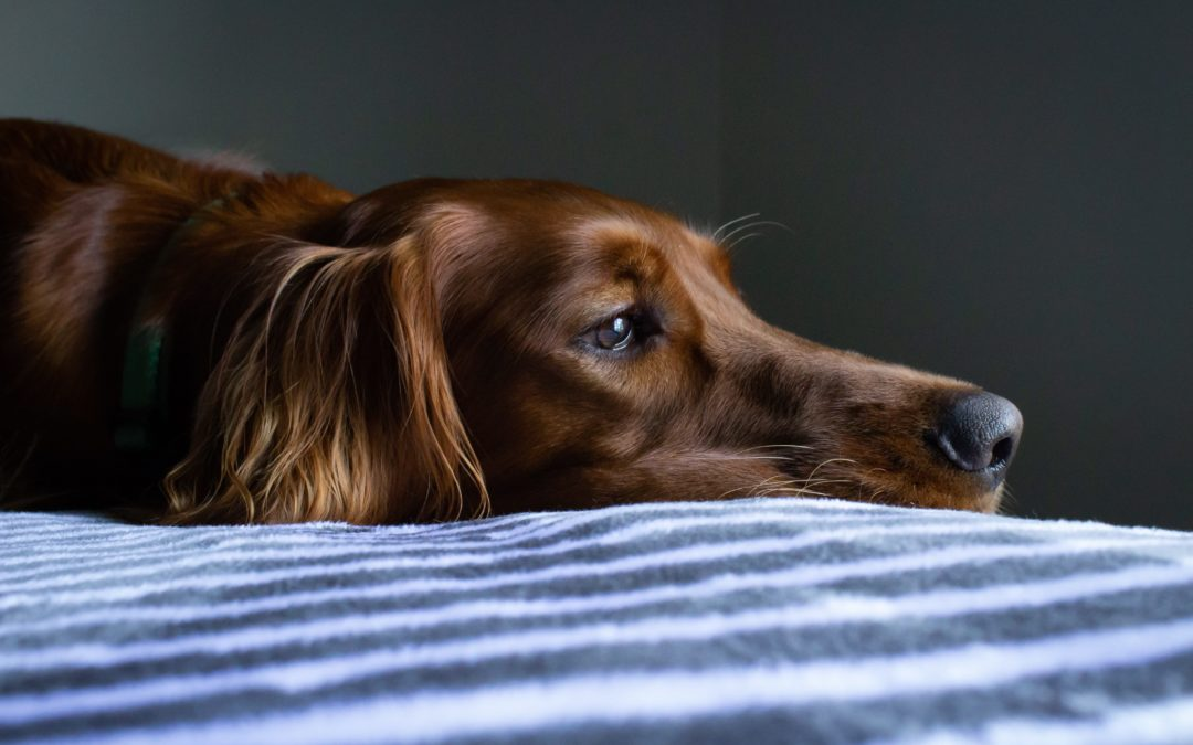 Mon chien est-il déprimé ?